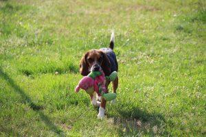Ex-labo beagles Jodipro